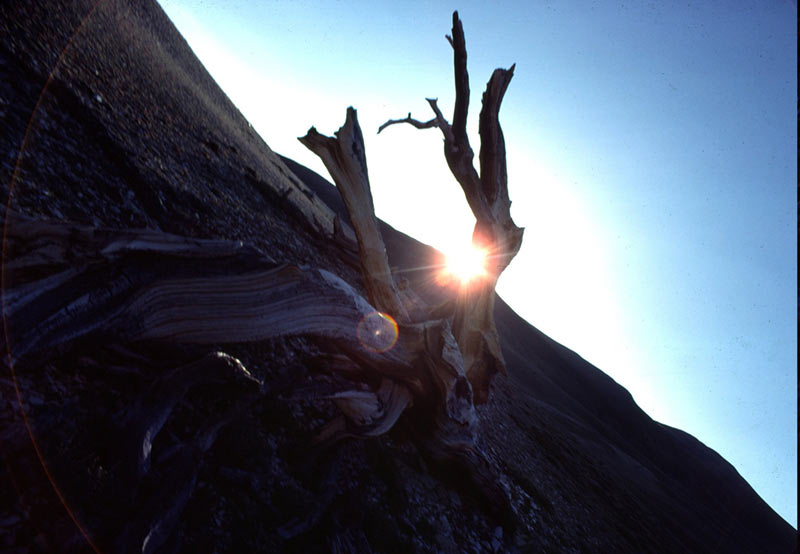 dead bristlecone at sunset